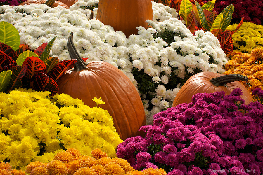 Pumpkins and Mums  804620