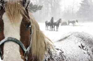 horse-closeup-in-snow